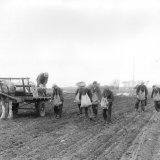 Planting Tatties at Queenstonbank 1950s