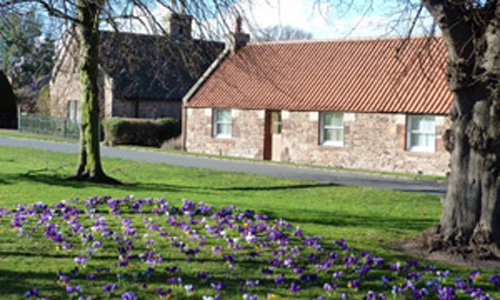 Crocus_on_Dirleton_Green