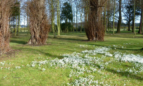 Snowdrops at Archerfield
