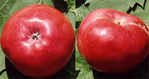 Dirleton Red apple