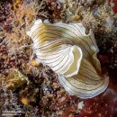 Candy Striped Flatworm