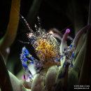 Snakelocks Anemone Shrimp