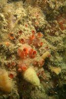 Gooseberry sea squirt