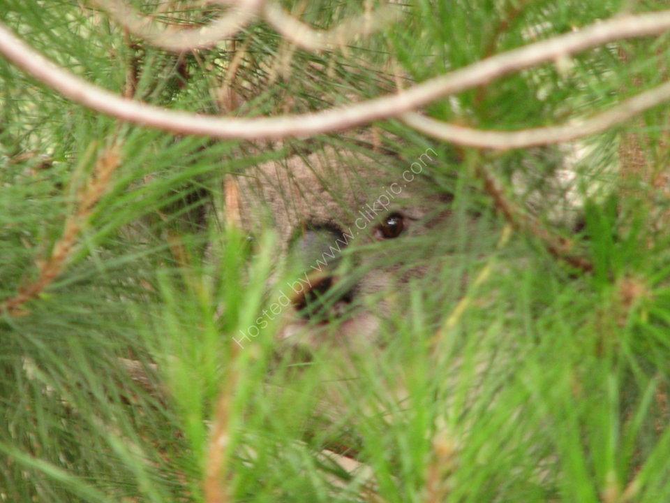 Koala in the bush
