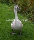 An adolescent swan