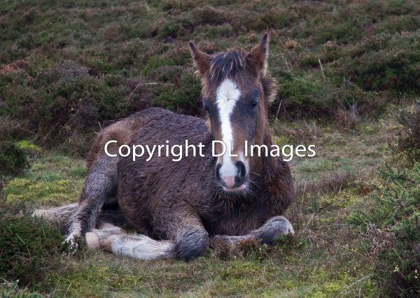 Quantocks wild horses