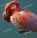 Flamingo at Slimbridge