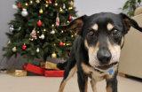 Dog Guarding Christmas Tree