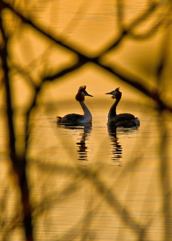 courting wild Grebes
