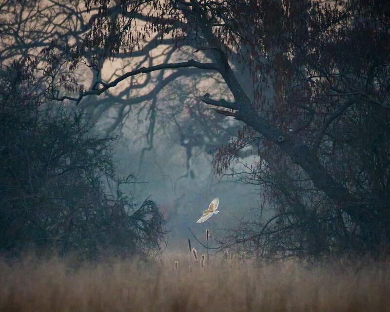 Framed Owl hunting