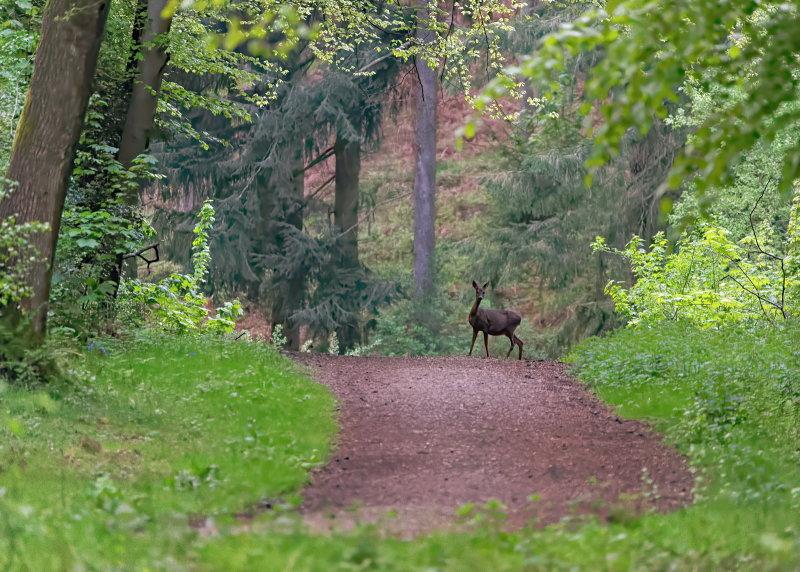 Wild Deer on Path