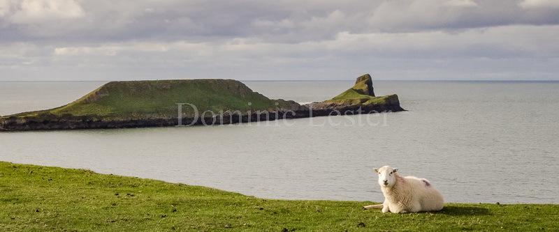 Worm's Head sheep panorama