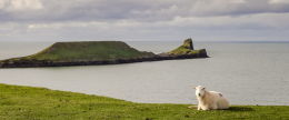 Worm's Head sheep panorama