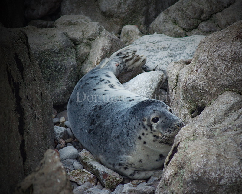 Wild Welsh seal pup