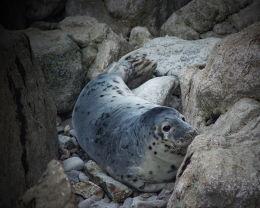 Wild Welsh seal pup