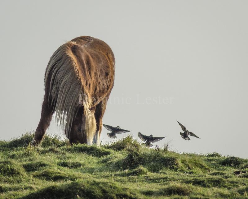 Hardy horse
