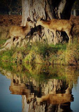 reflected deer