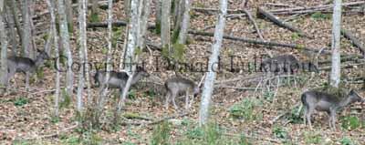 Deer at Dunkeld