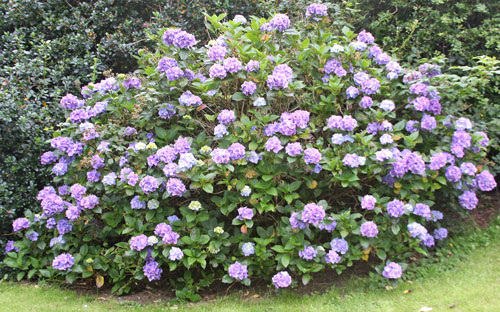 Rhodendron bush