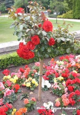 Gleneagles roses