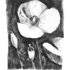 Poppy and poppy seed heads