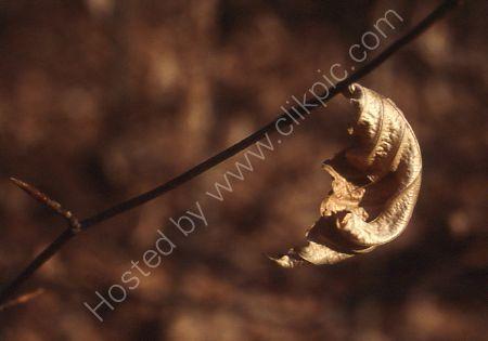 Winter leaf