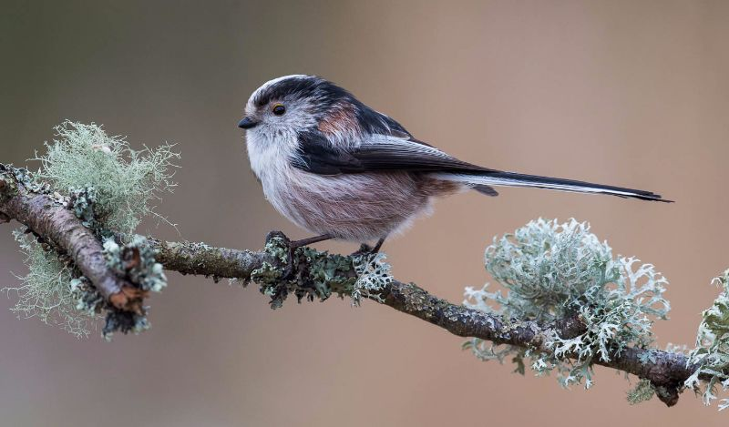 14 - Long Tailed Tit - CB