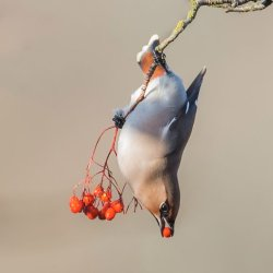 Advanced colour 3rd Waxwing - CB