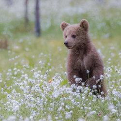 Bear cub in cotton grass