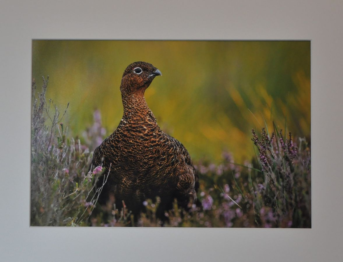 G1 COL 2 Red Grouse