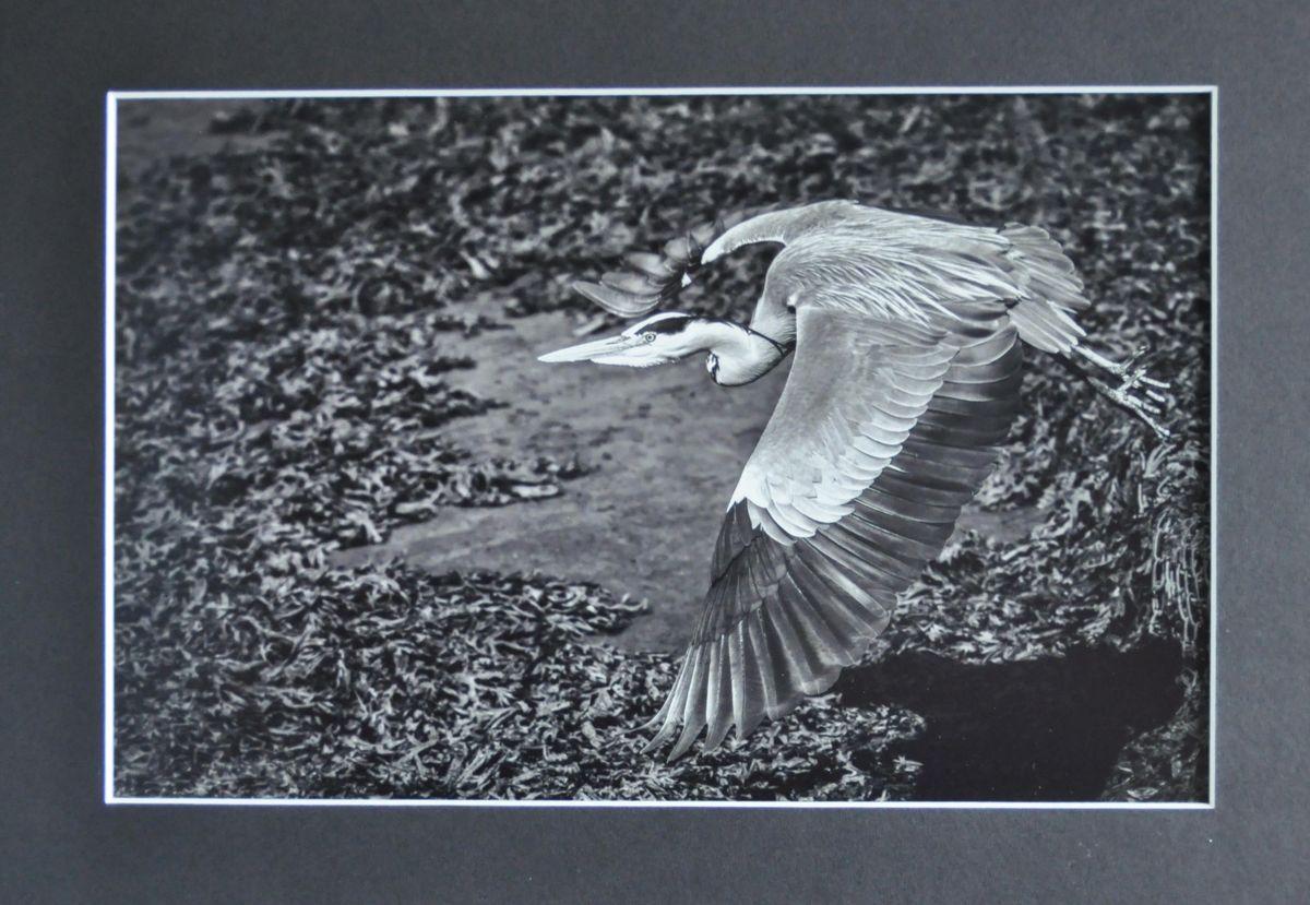 G1 MON 1 Grey Heron