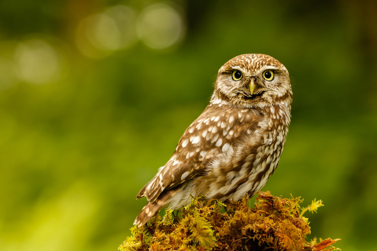 G1 PDI 1 Little Owl