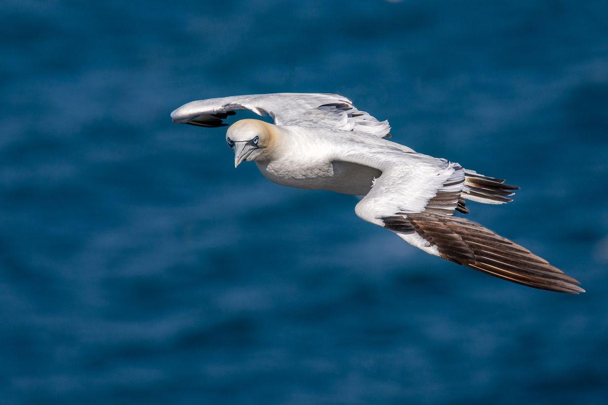 Gannet in a gale
