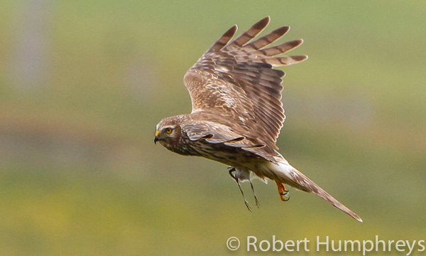 Hen Harrier with curlew chick