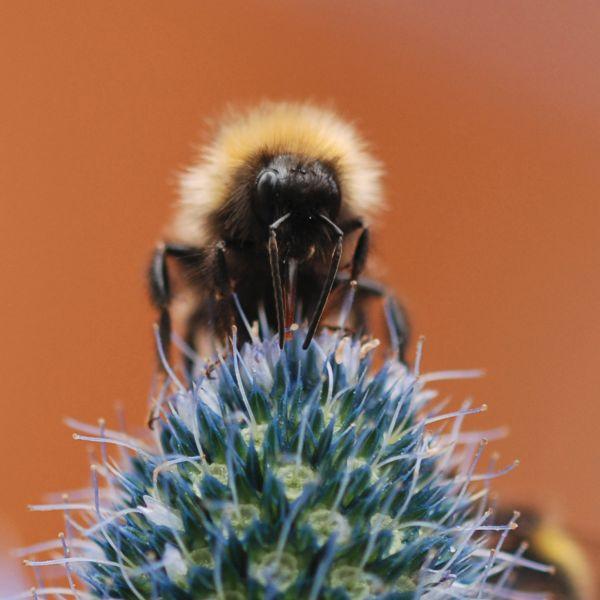 Novice colour 3rd Bee Feeding on Sea Holly - AD