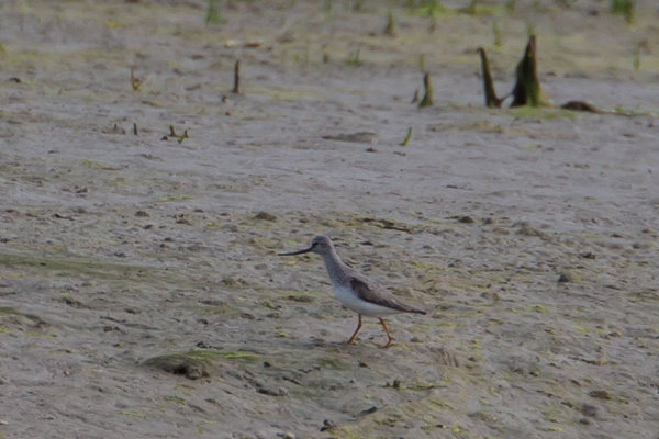 Record shots of theTerek Sandpiper