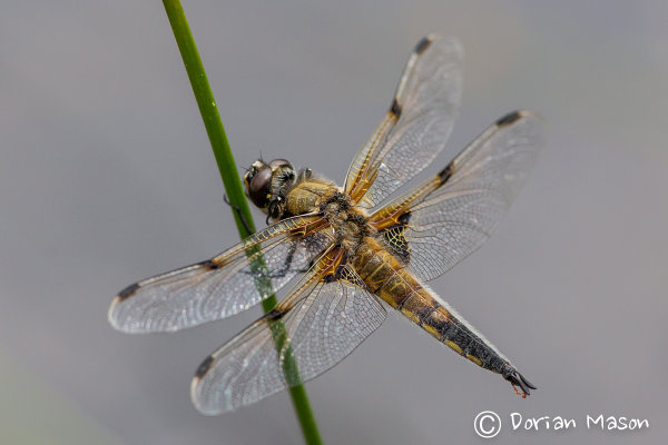Four -spotted Chaser