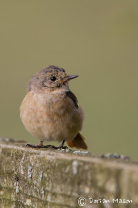 Juvenile Common Redstart