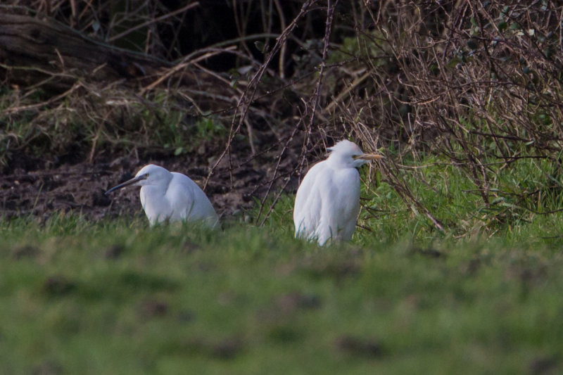 Cattle Egret with Little Egret