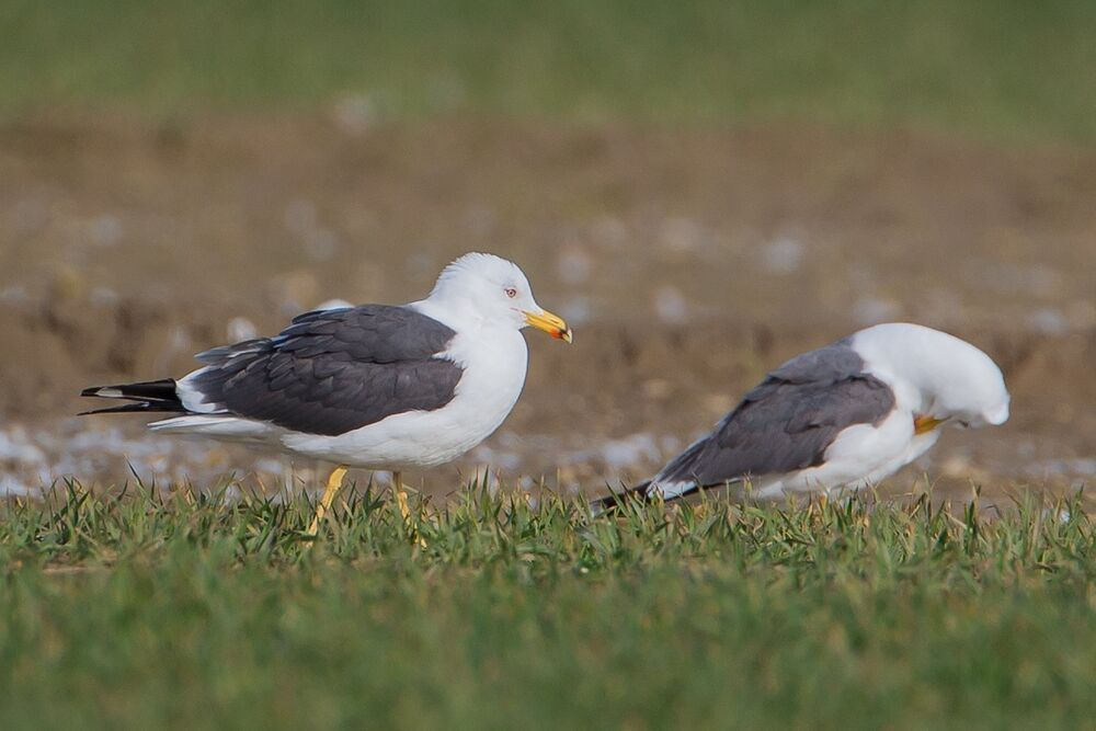 Lesser  black- Backed Gull