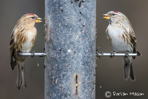 Mealey Redpoll with Lesser Redpoll