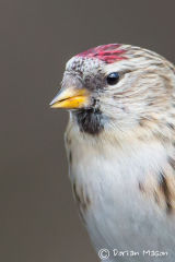 Mealey Redpoll