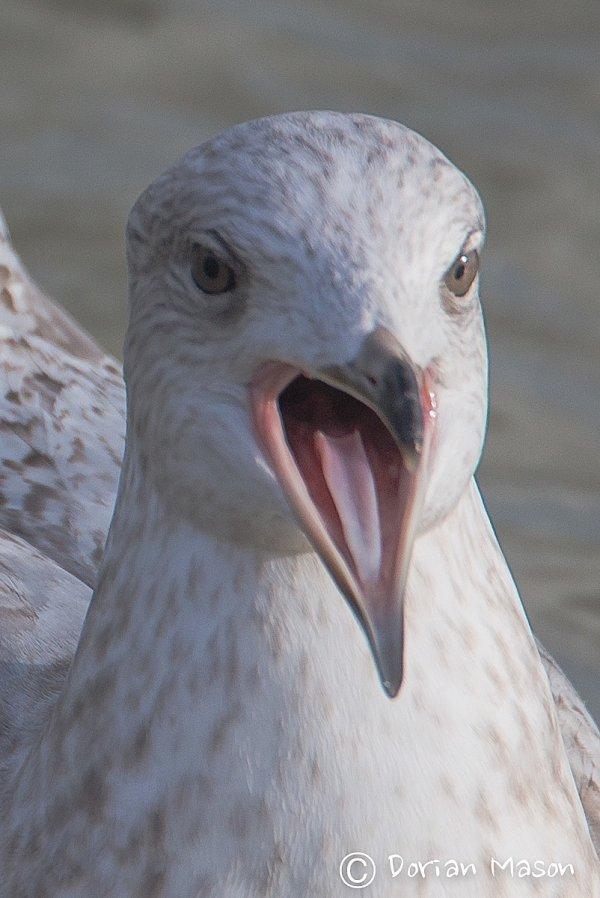Kumliem's Gull