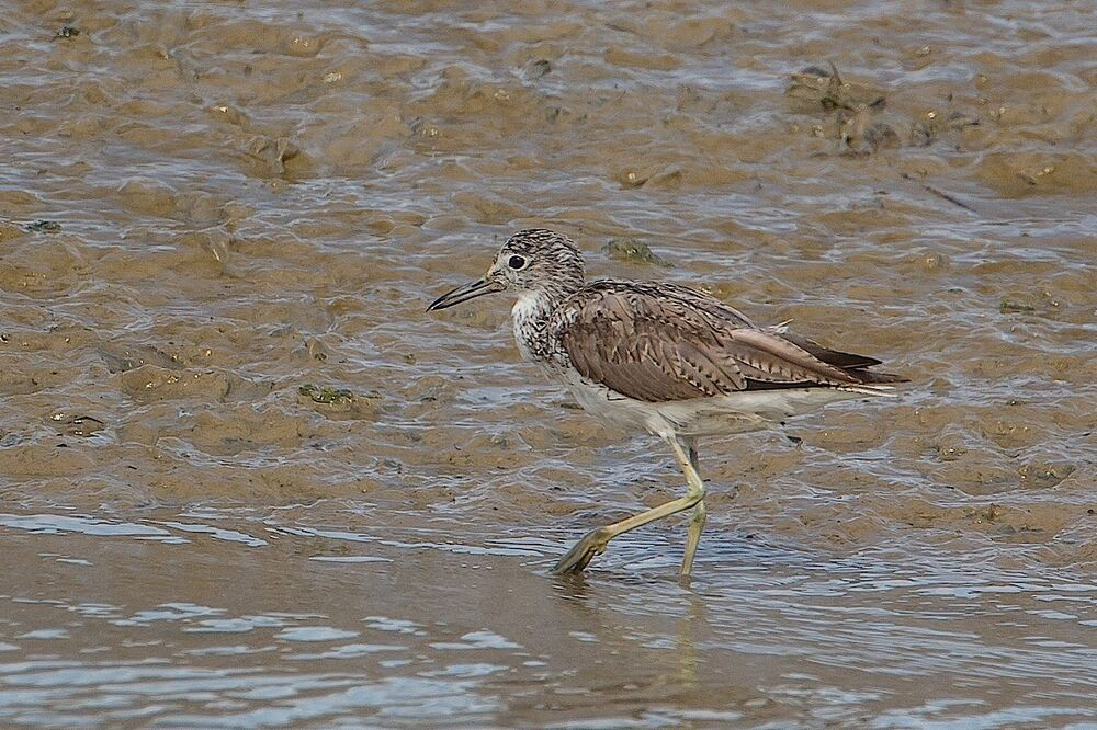 Greenshank with deformed bill