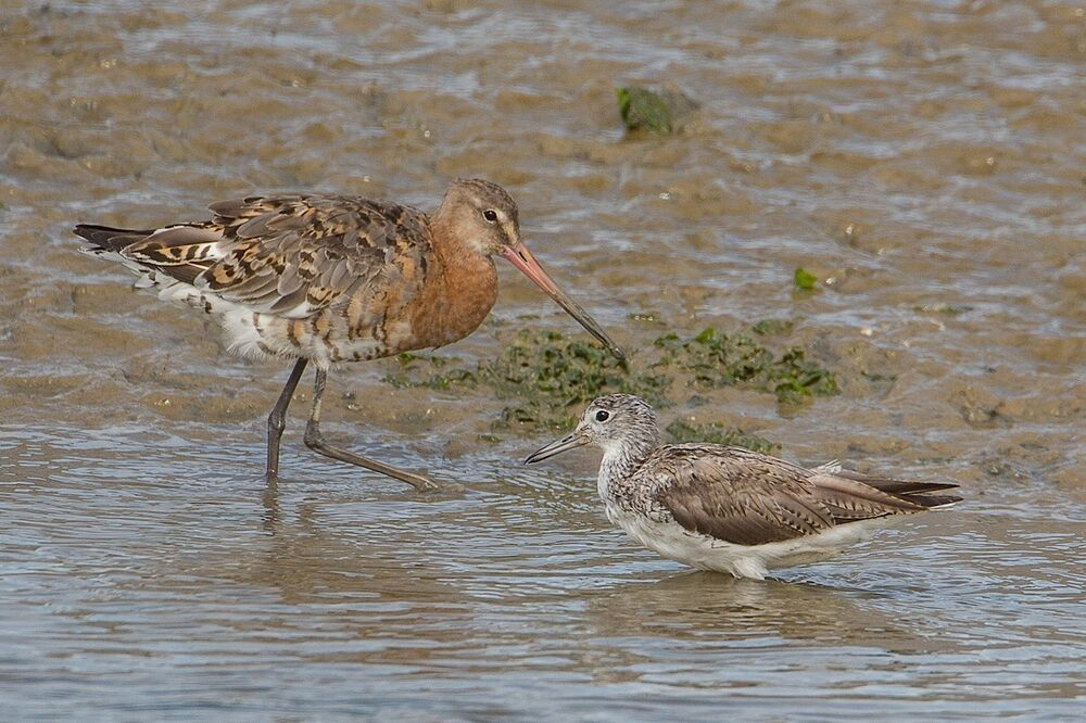 Black-tailed Godwit with Greenshank deformed bill