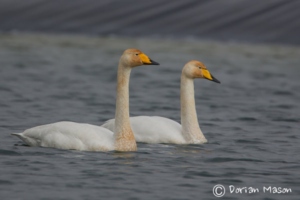 Whoopper Swans