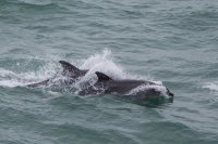 Bottle nose Dolphin at Durlston head Swanage Dorset