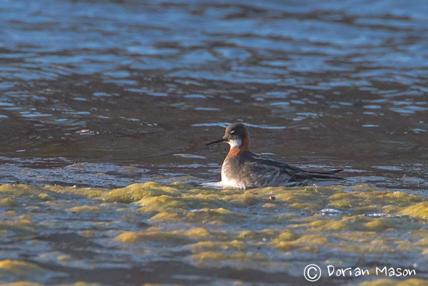 Record shot of the Red-necked Phalarope