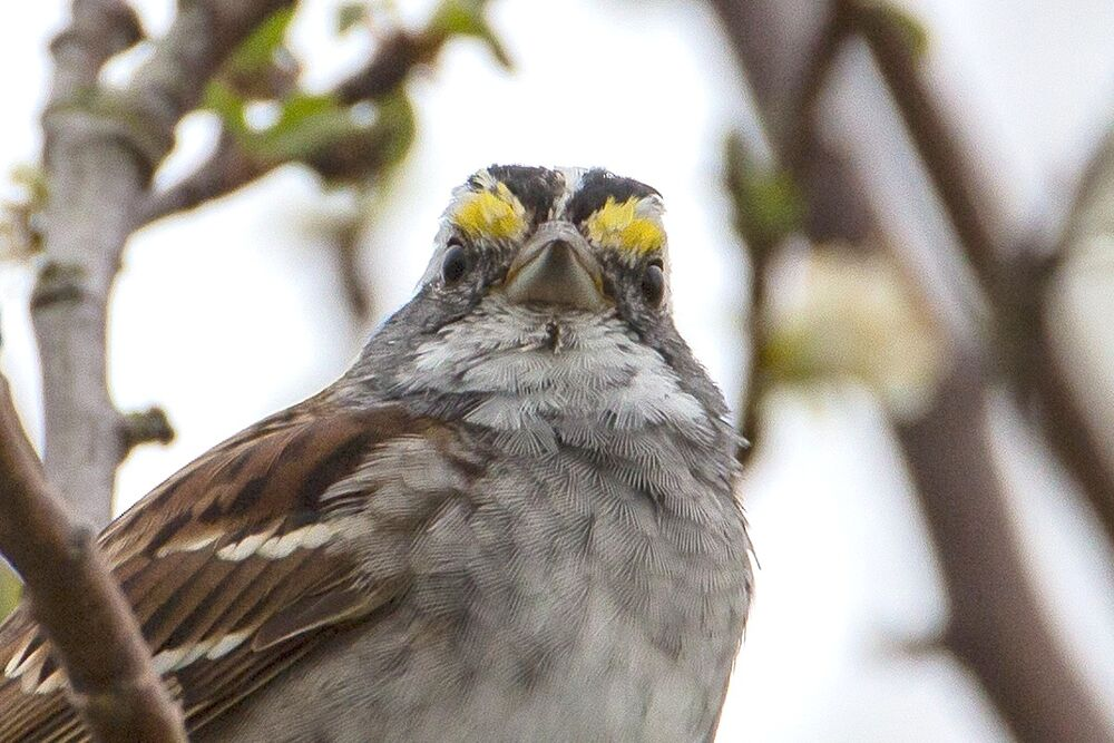 White Thoated Sparrow