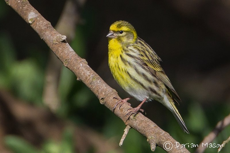 Serin